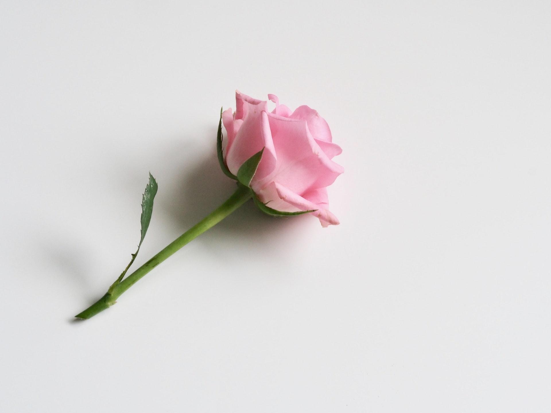 La Rose à l'honneur pour la fête des mamans