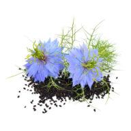 graine-et-fleur-de-nigelle